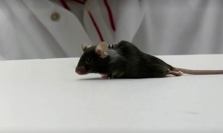 Scientists force paraplegic mice to walk again
