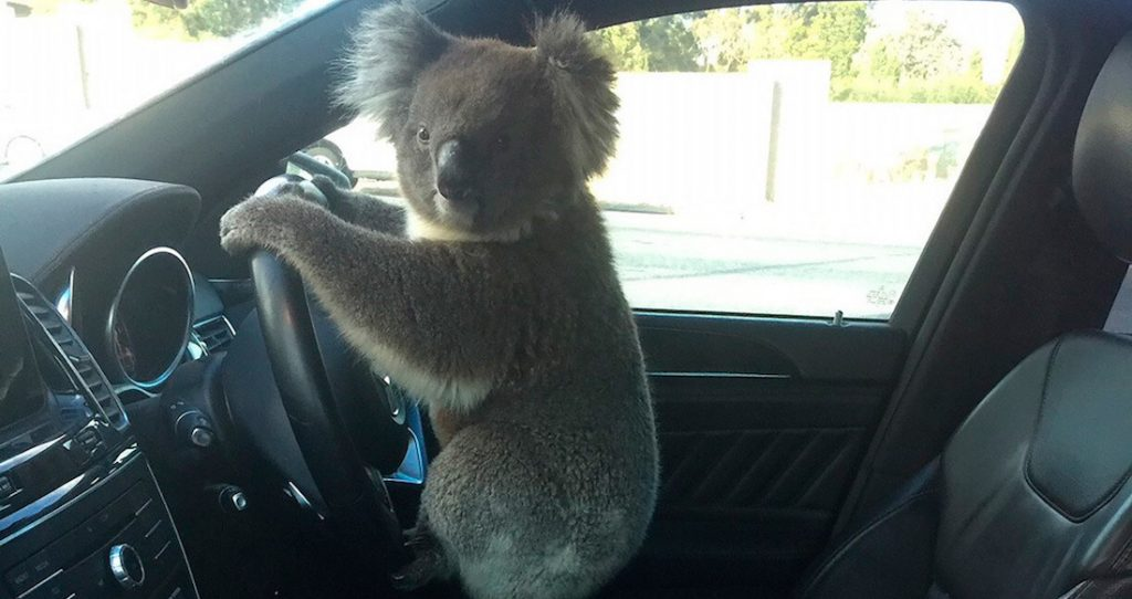 Video: Koala causes a car accident on the Australian highway and turns into a virus
