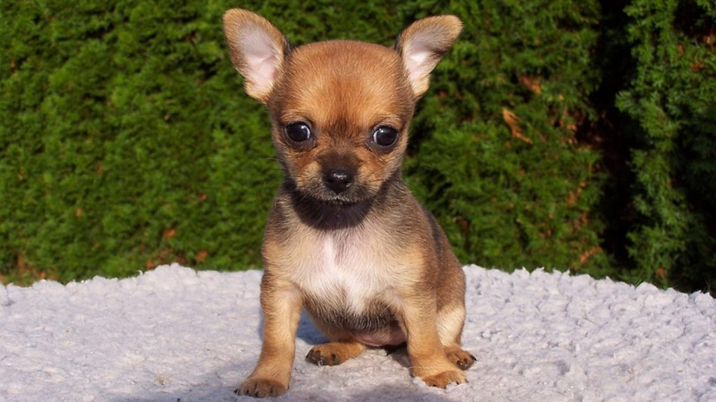 Chihuahua: Most popular in Mexico, but not in the world