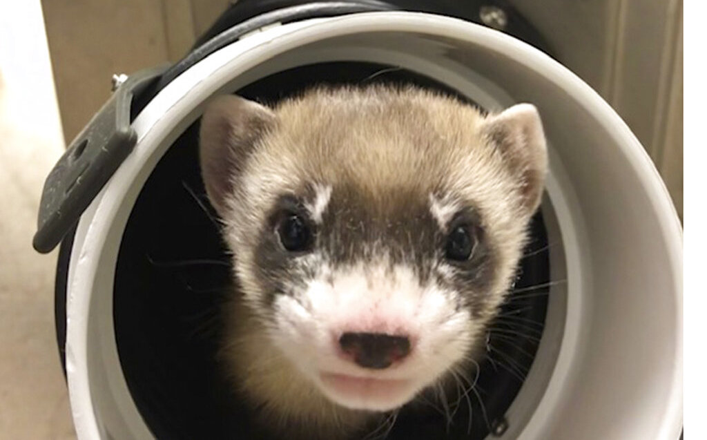 In the United States, they have cloned an endangered black-footed ferret