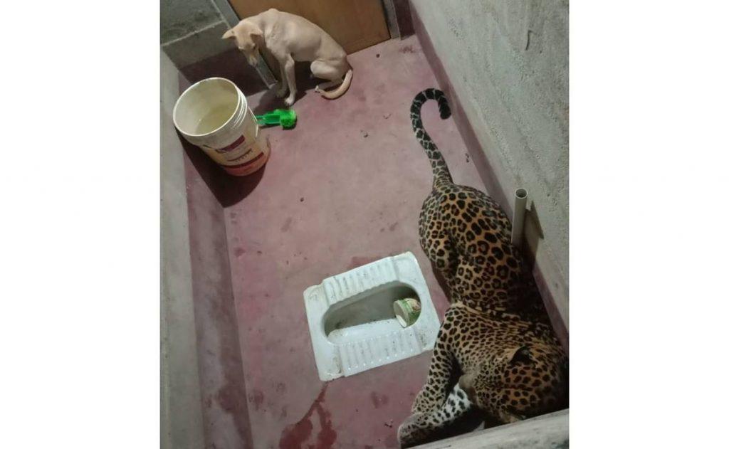 ¿Qué pasa si encierran a un leopardo con un perro en un baño?