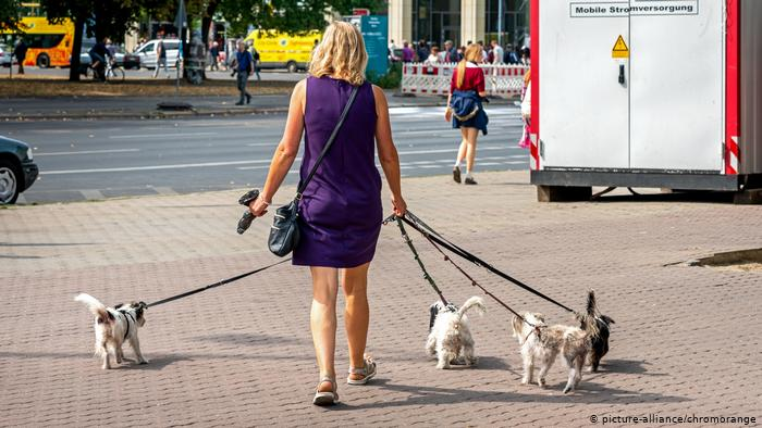 A woman walks several dogs on long leashs