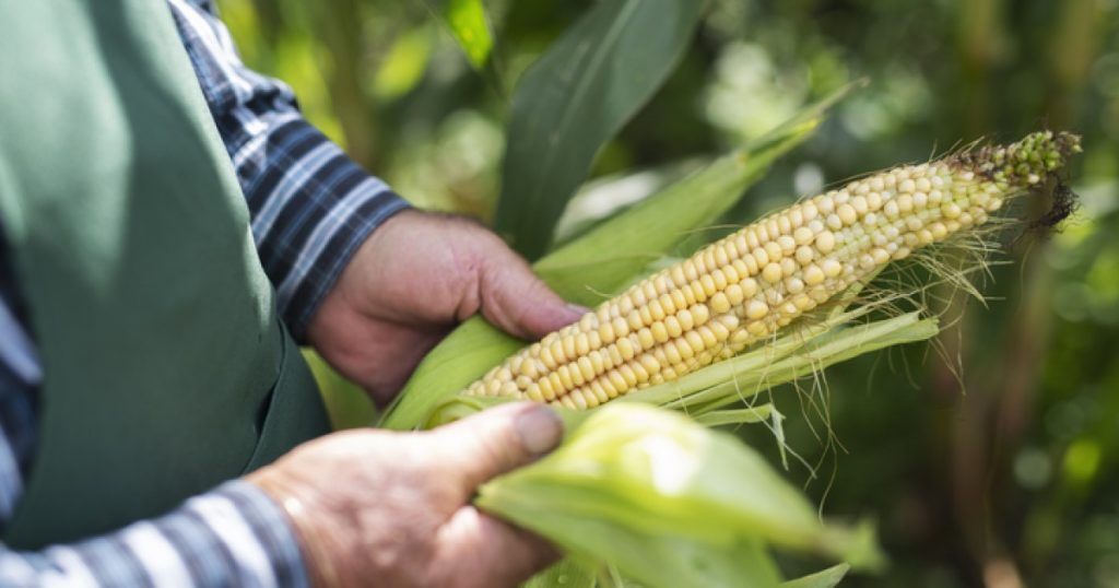 The United States is negotiating a Mexican plan to ban GM corn