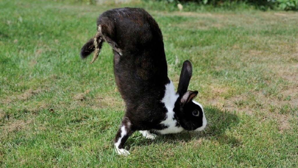 Science reveals the mystery of rabbits walking on the head
