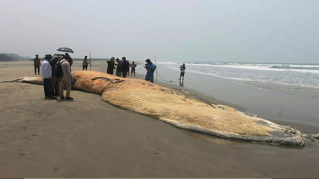 A huge body of whales is found on the beach - Uno TV