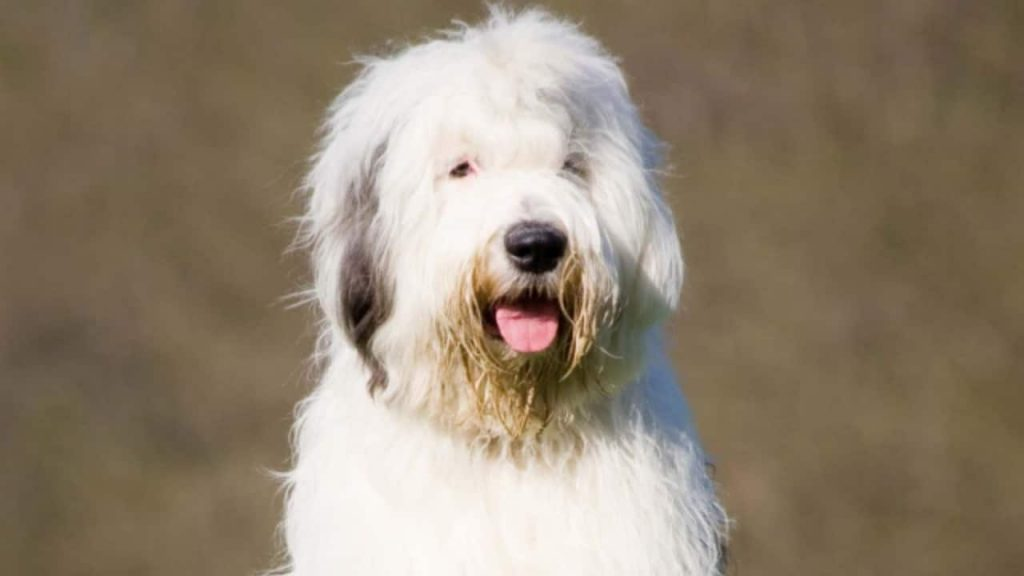In danger of extinction!  The English Sheepdog is considered vulnerable