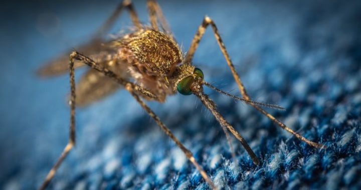 Dengue fever and Zika  The first genetically modified mosquitoes are released in Florida to fight disease