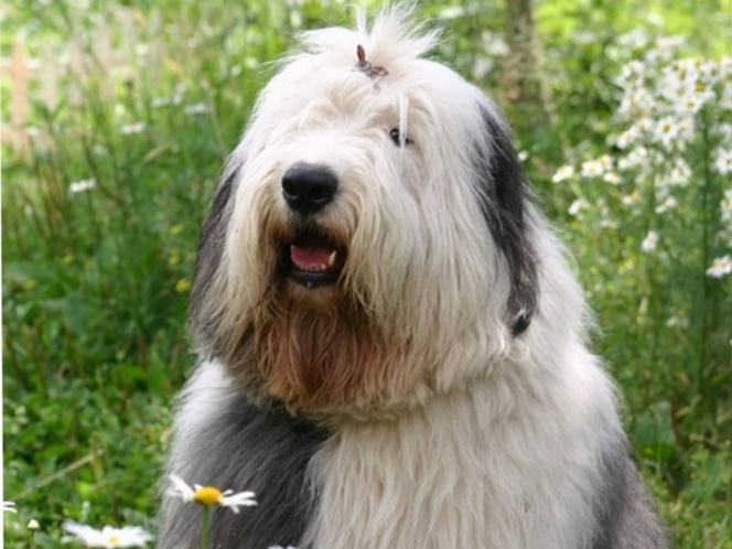 The English Sheepdog, or Bobtail, is endangered in the United Kingdom