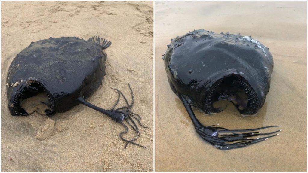 Find Balloon Fish in California;  It lives on the sea floor - Noticieros Televisa