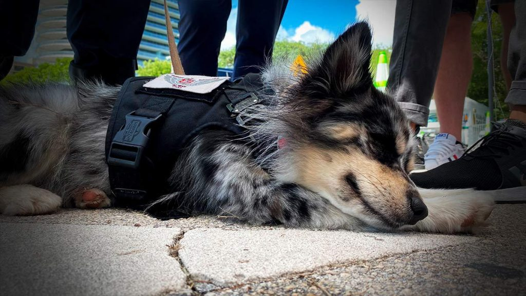 Meet Oreo, a Mexican dog looking for survivors in Miami