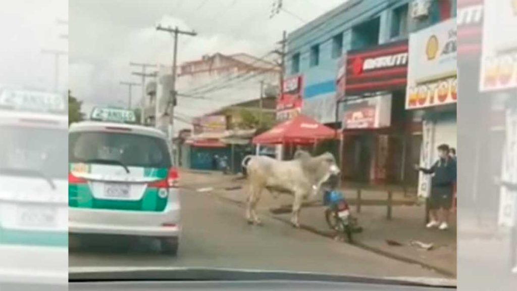 Cows invade the Bolivian streets.  Four people were injured