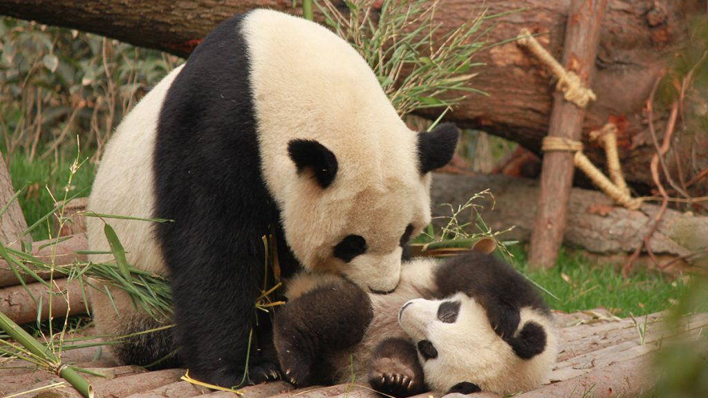 China realizes that the panda is not in danger of extinction