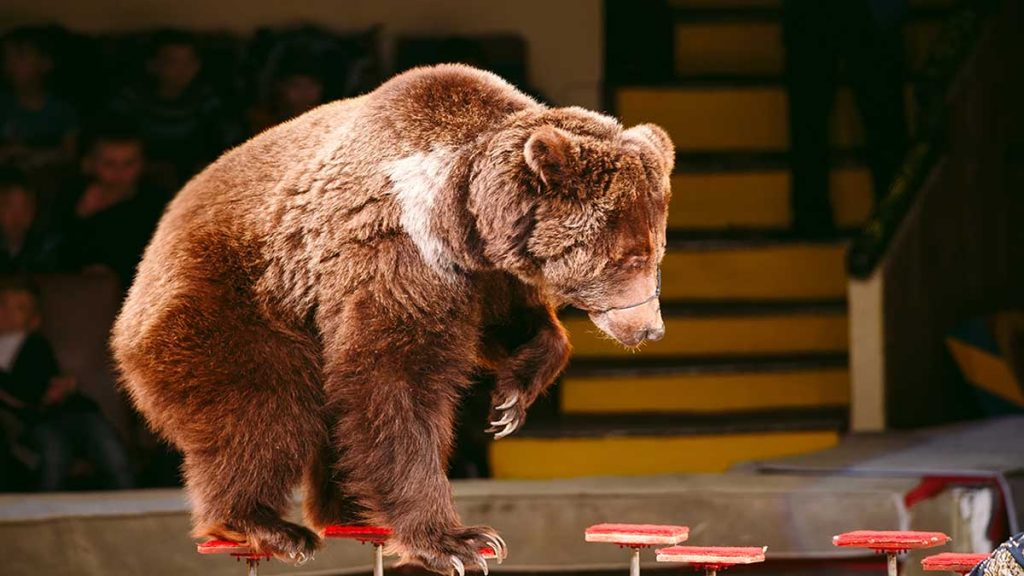 In Russia, a circus bear attacks its trainer during a children's show