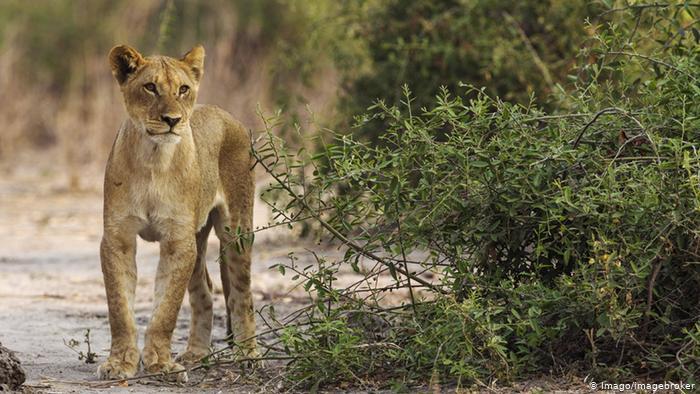 Hungry Lion Afika (Imago / imageBoker)