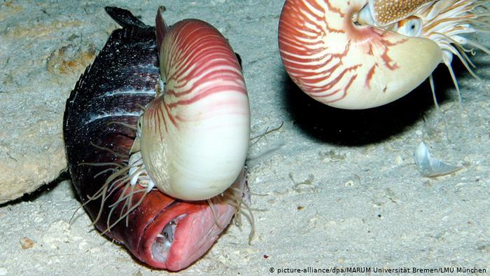 Newly discovered species - Nautilus (picture-alliance / dpa / MARUM University Bremen / LMU Munich)