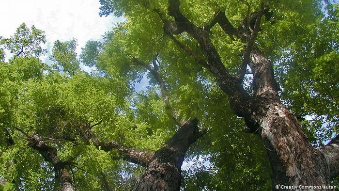 Rosenholzbaum Rosenholz Birma Pterocarpus macrocarpus (Creative Commons/autan)