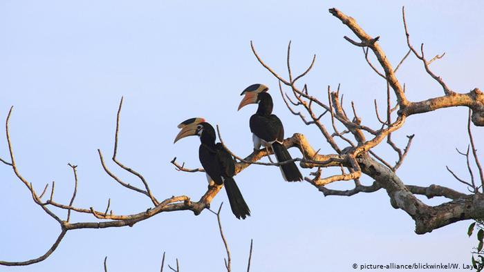 Hornvögel in Sri Lanka (picture-alliance / blickwinkel / W. Layer)