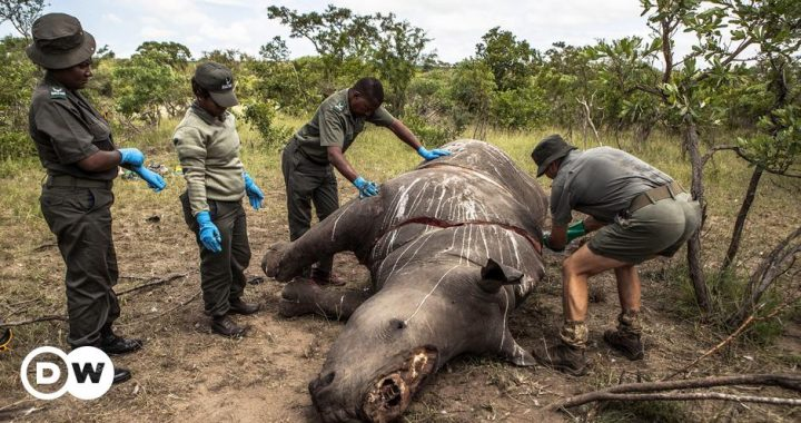 Rhino hunting increases by 50 percent in South Africa |  Science and Ecology |  DW