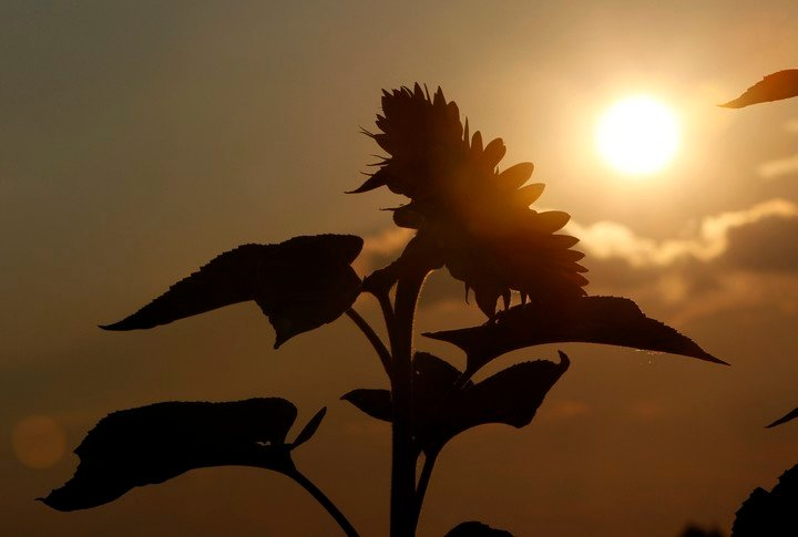 East-facing sunflowers produce more offspring than west-facing sunflowers (Reuters).