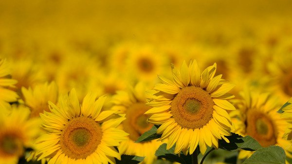 Science has discovered why sunflowers move when they look at the sun
