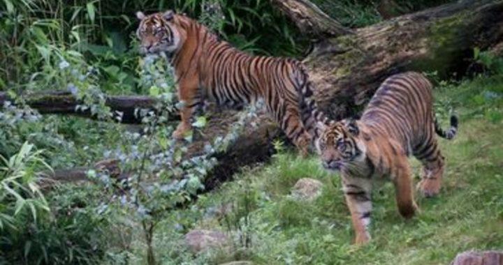 Dos tigres de Sumatra se contagian de COVID-19 en zoológico de Indonesia; autoridades investigan