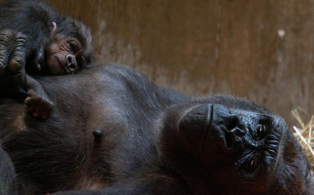 Los gorilas occidentales de las tierras bajas viven en los bosques de Gabón, República Centroafricana, Camerún, Angola, Guinea Ecuatorial y Congo.
