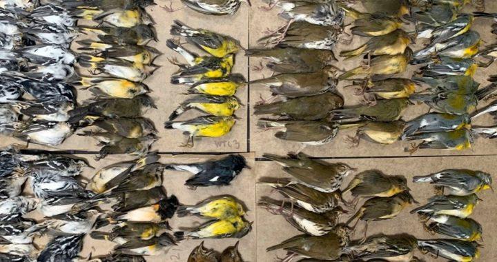 Cientos de aves fallecen tras estrellarse contra las torres del WTC en Nueva York