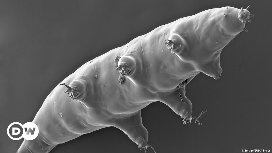 Unpublished sequence reveals how little tardigrades walk |  Science and Ecology |  DW