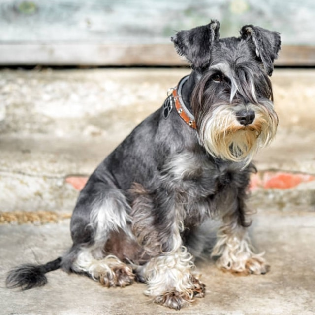 Dog breeds that shed less hair