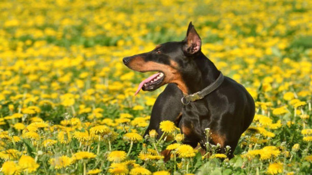 Razas de perro que menos pelo sueltan
