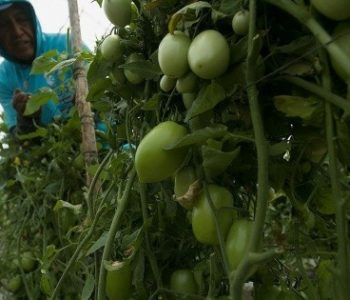 Mexico is monitoring the ban on fresh tomatoes in the United States